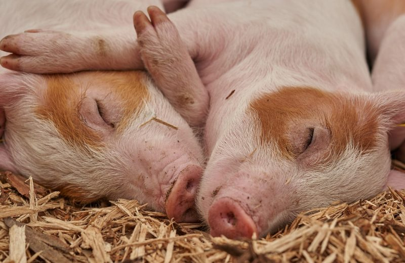 L'élevage bio redonne espoir à la filière porcine française