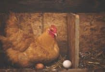 Comment bien nourrir les poules chez vous ?